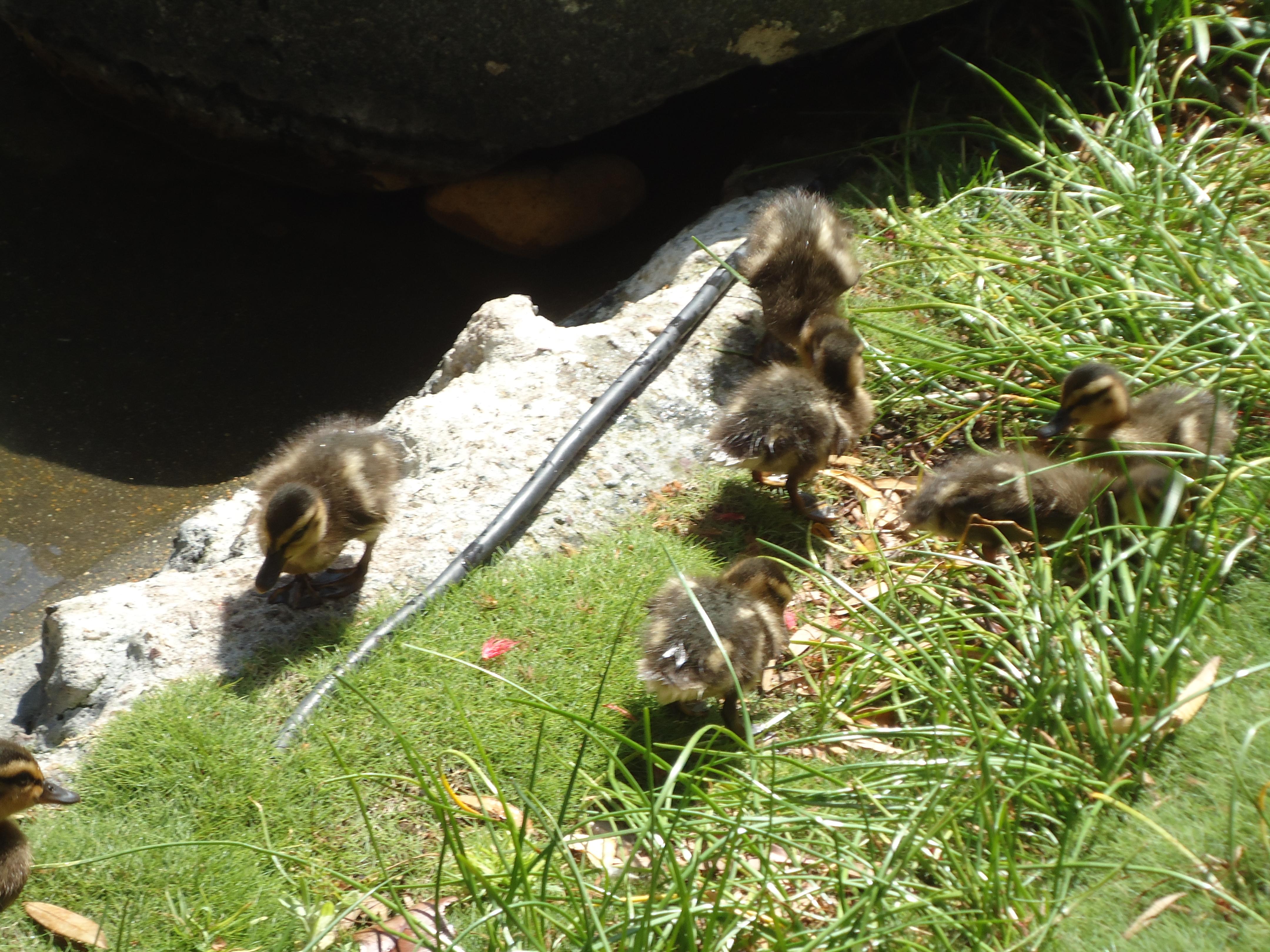 Baby Ducks in San Diego