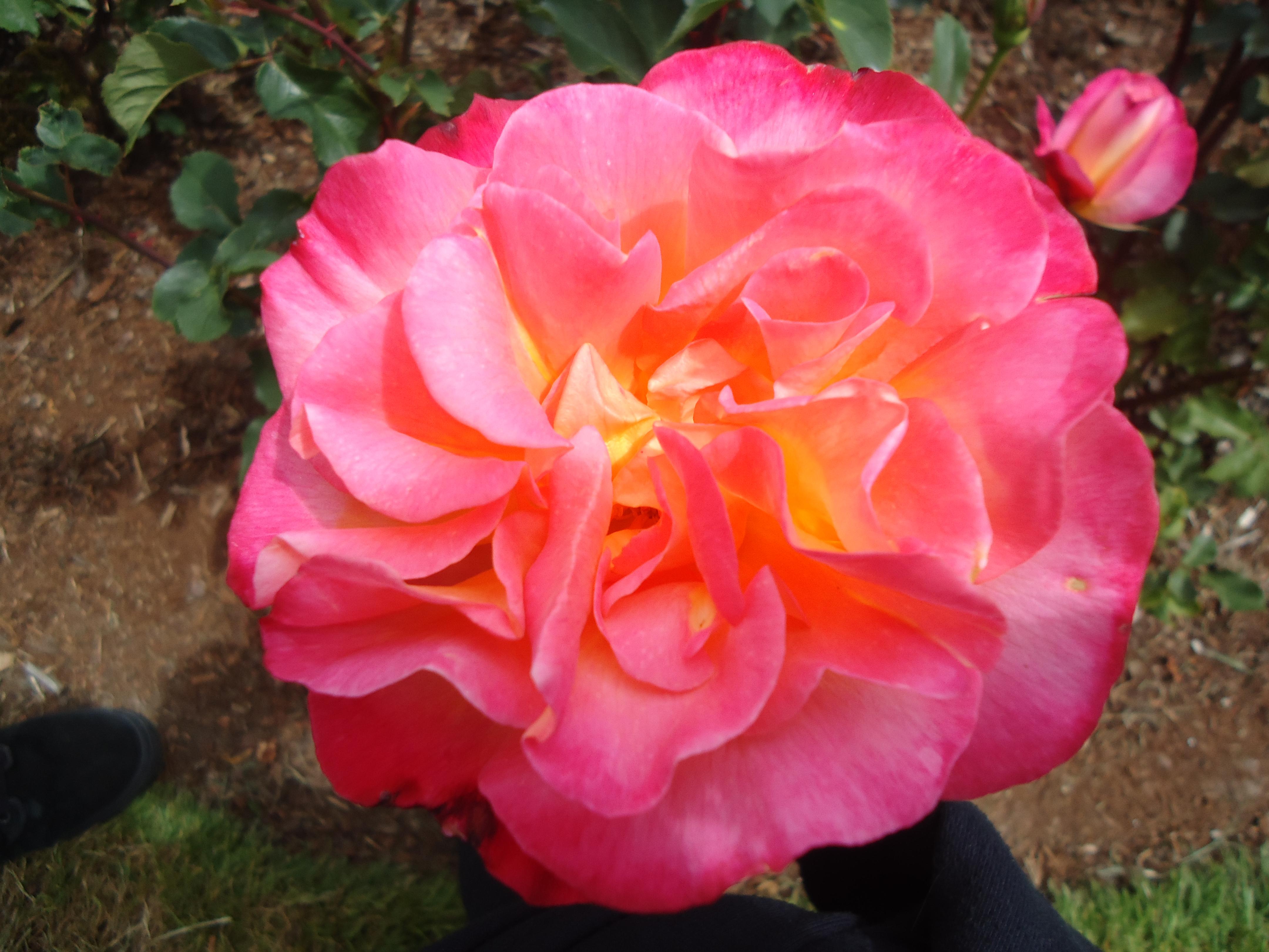 Rose garden, Portland