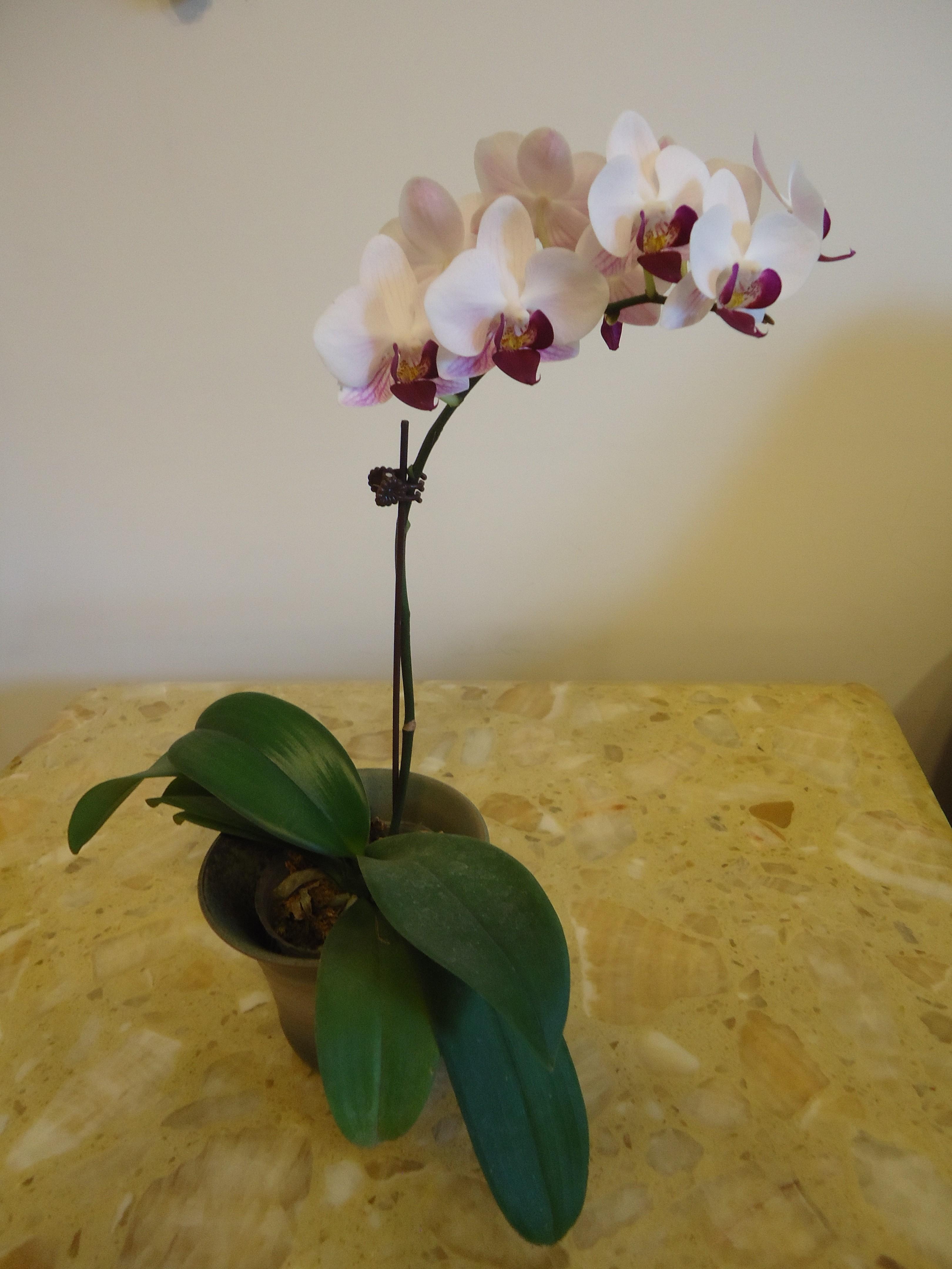 Orchid, Hsinchu flower market